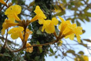 イッペイの花