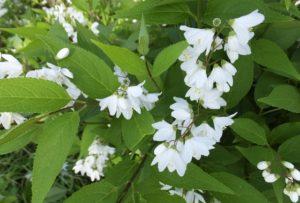 空木 ウツギ 卯の花