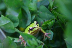 蛙始鳴 かわずはじめてなく アマガエル