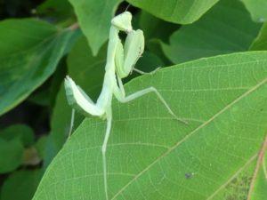 蟷螂 かまきり カマキリ 祈り虫 拝み虫 蟷螂の斧