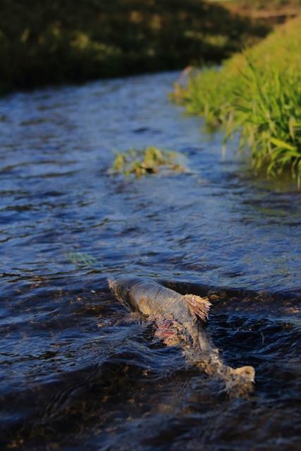 鱖魚群 さけのうおむらがる 鮭の遡上