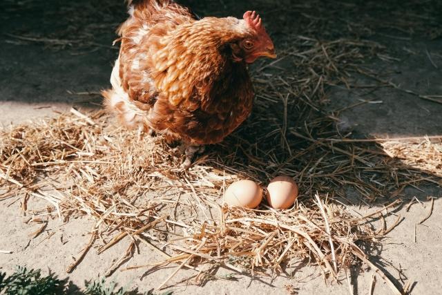鶏始乳 にわとりはじめてとやにつく