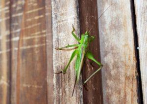 蟋蟀在戸 きりぎりすとにあり