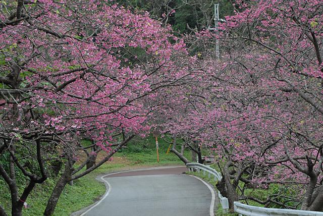 八重岳桜祭り