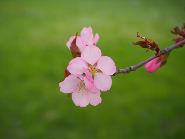 大山桜 オオヤマザクラ